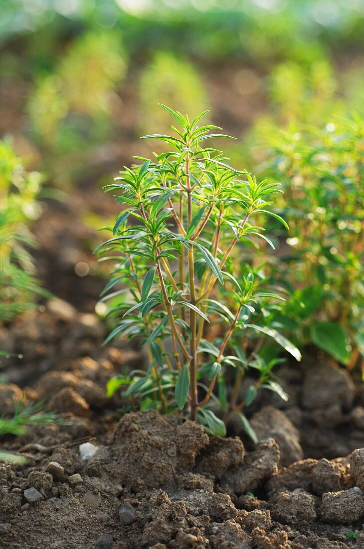 Savory growing in the field