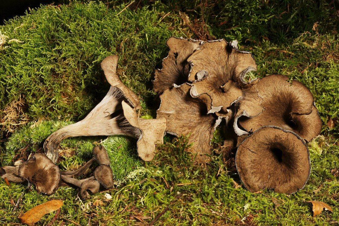 Black Chanterelle Mushroom