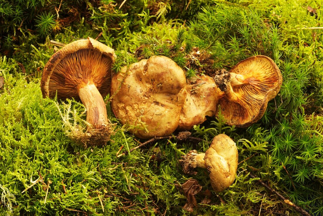 Brown rollrim fungus