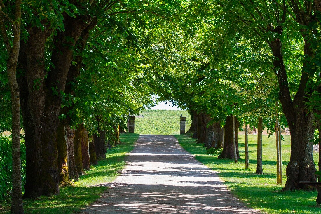 An avenue of trees in a park