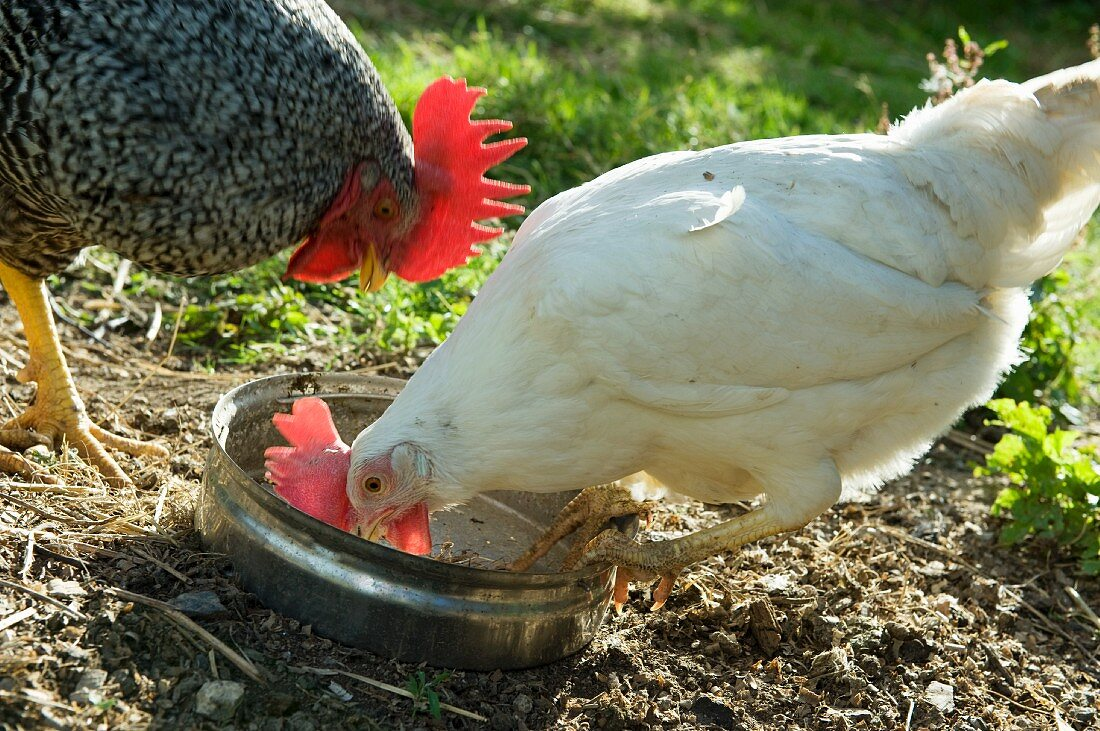 A hen pecking food out of a dish