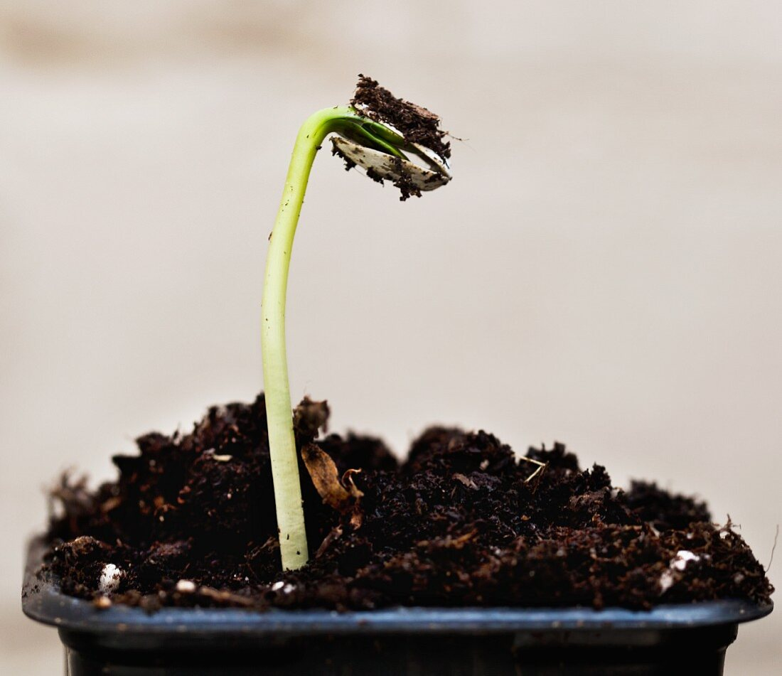 A freshly sprouted sunflower seedling