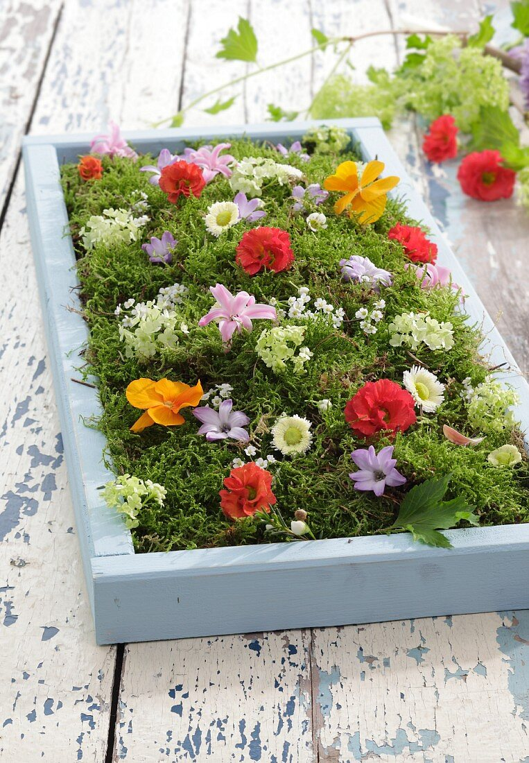 Colourful flowers on bed of moss in pale blue wooden crate