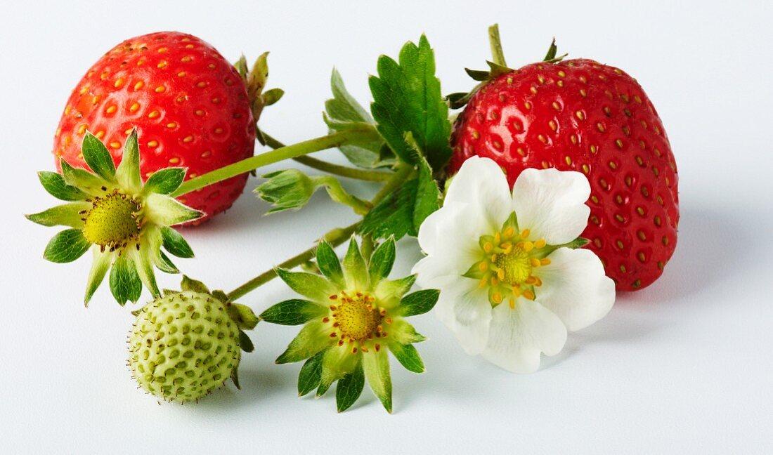 Wild strawberries with strawberry flowers