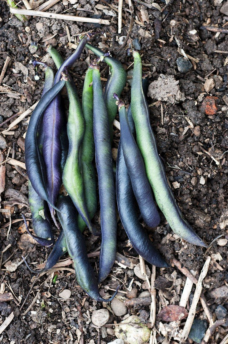 Violet beans on the soil in a vegetable bed
