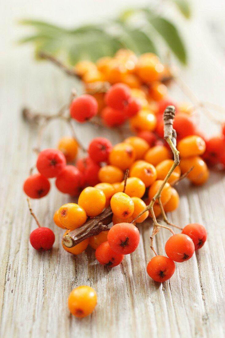 Sea buckthorn berries and rowan berries