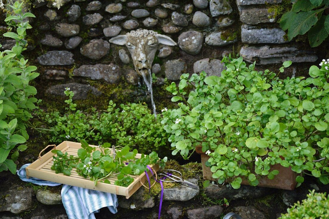 Watercress on a stone well in the garden