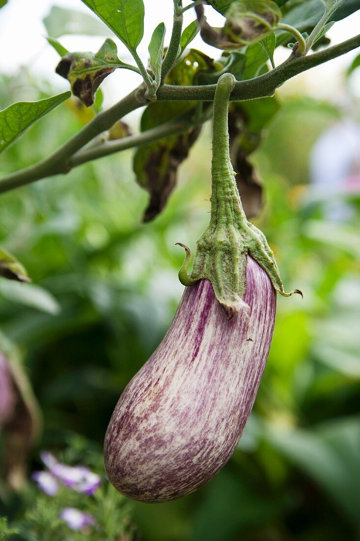 Aubergine on the plant