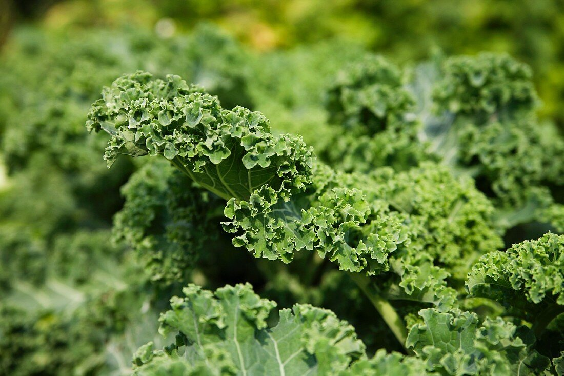 Kale in the vegetable plot (close-up)