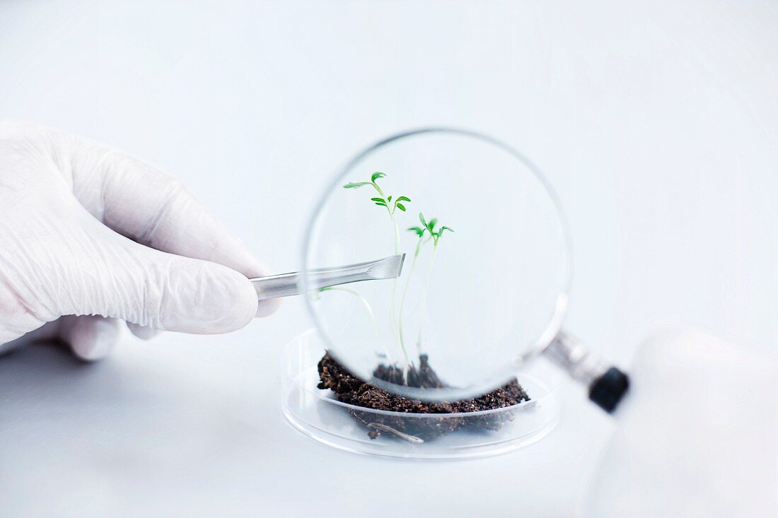Scientist lifting seedling with tweezers and looking through magnifying glass