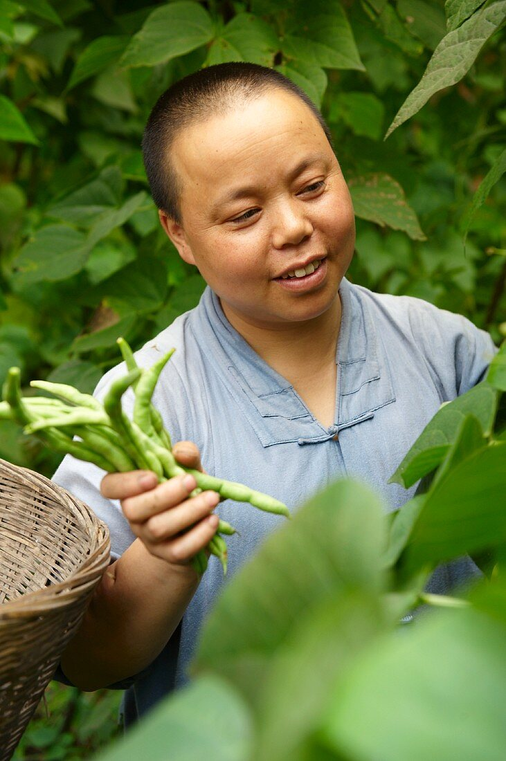 A Chinese nun harvesting beans