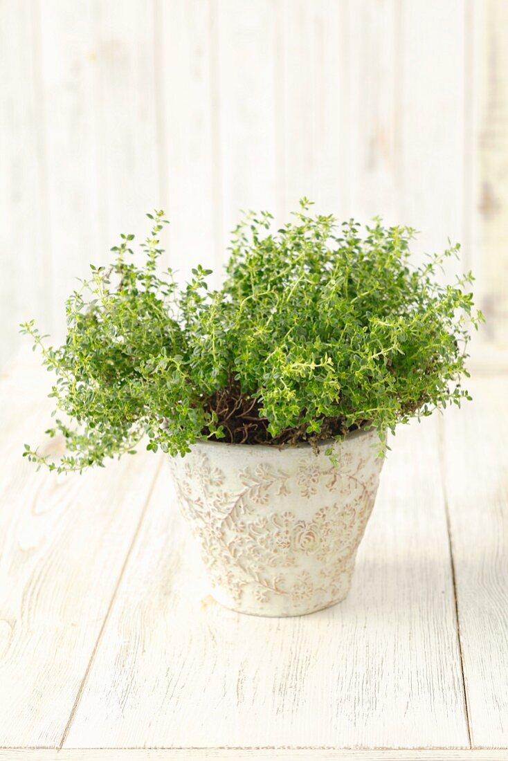 A lemon thyme plant in a flowerpot