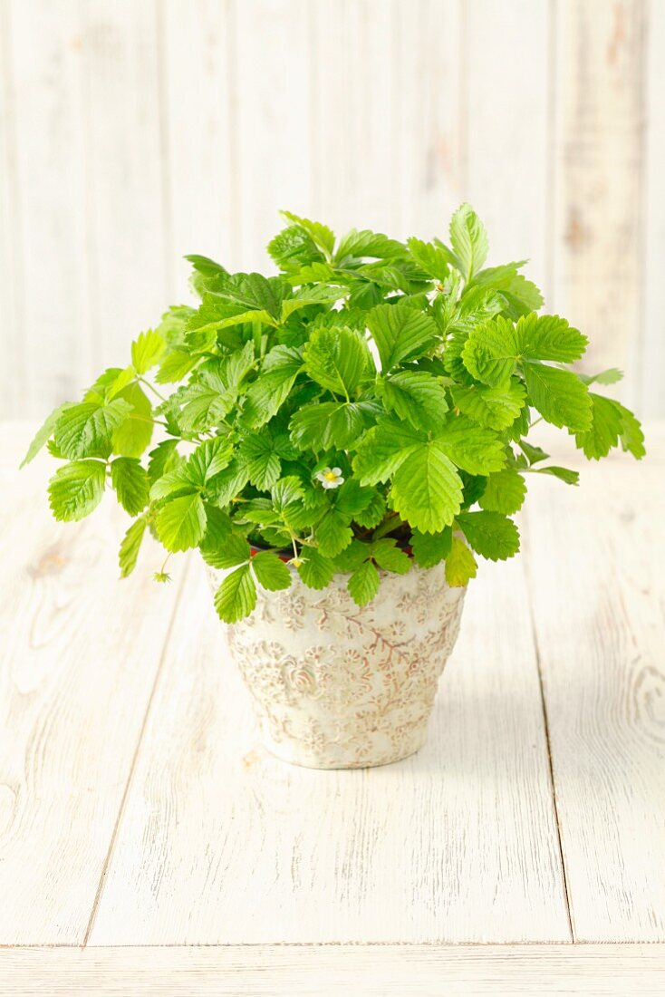A strawberry plant in a flowerpot