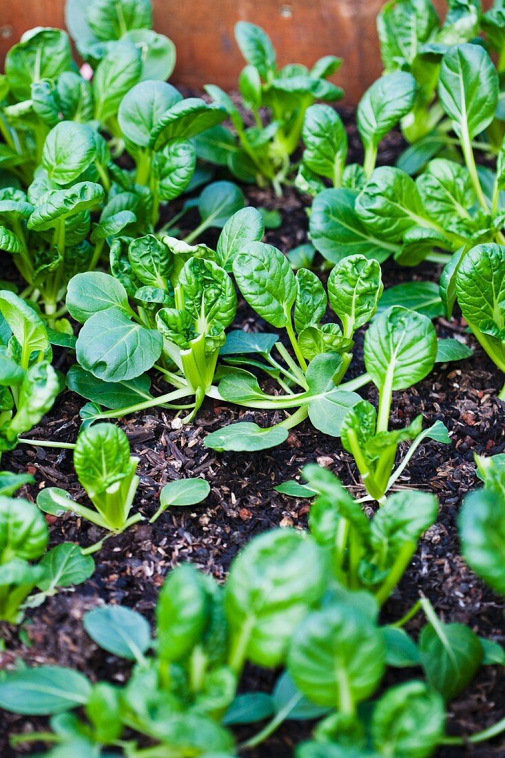 Plants of Baby Bok Choy Growing
