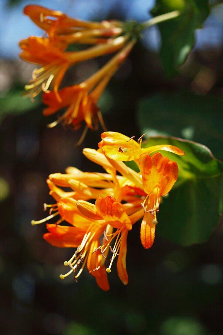 Honeysuckle with flowers in the garden
