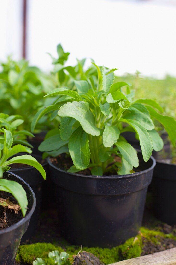 Stevia in black plastic pots
