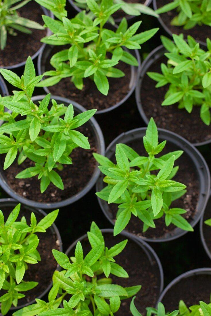 Young verbena in black plastic pots