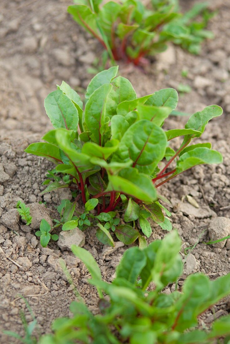 Red beet plants