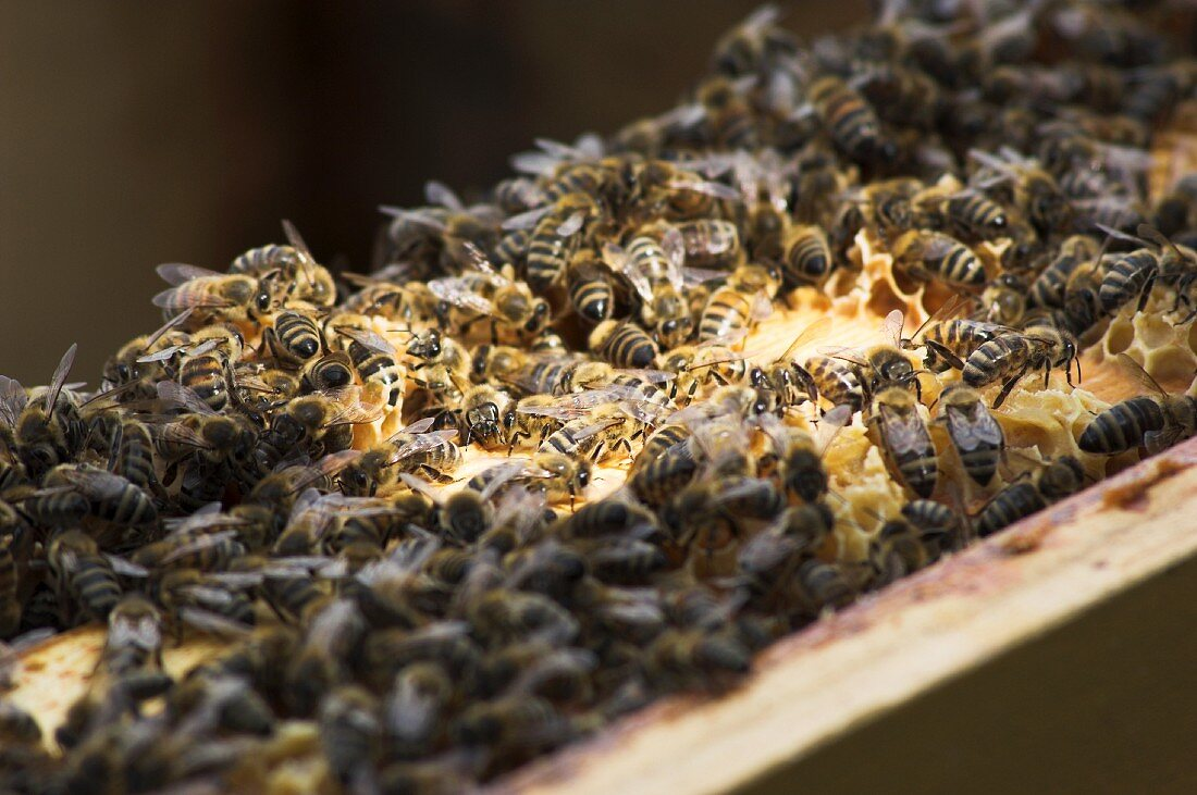 A bee colony on a honeycomb
