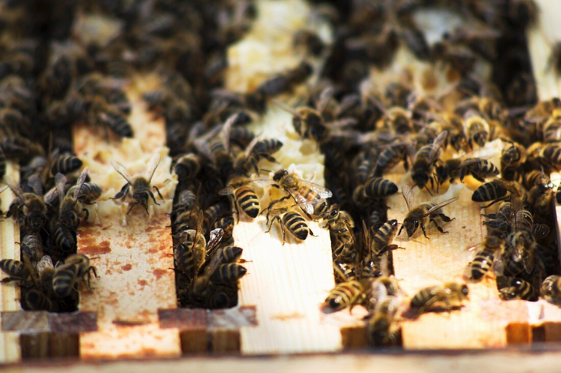 Bees sitting on the honeycomb frame