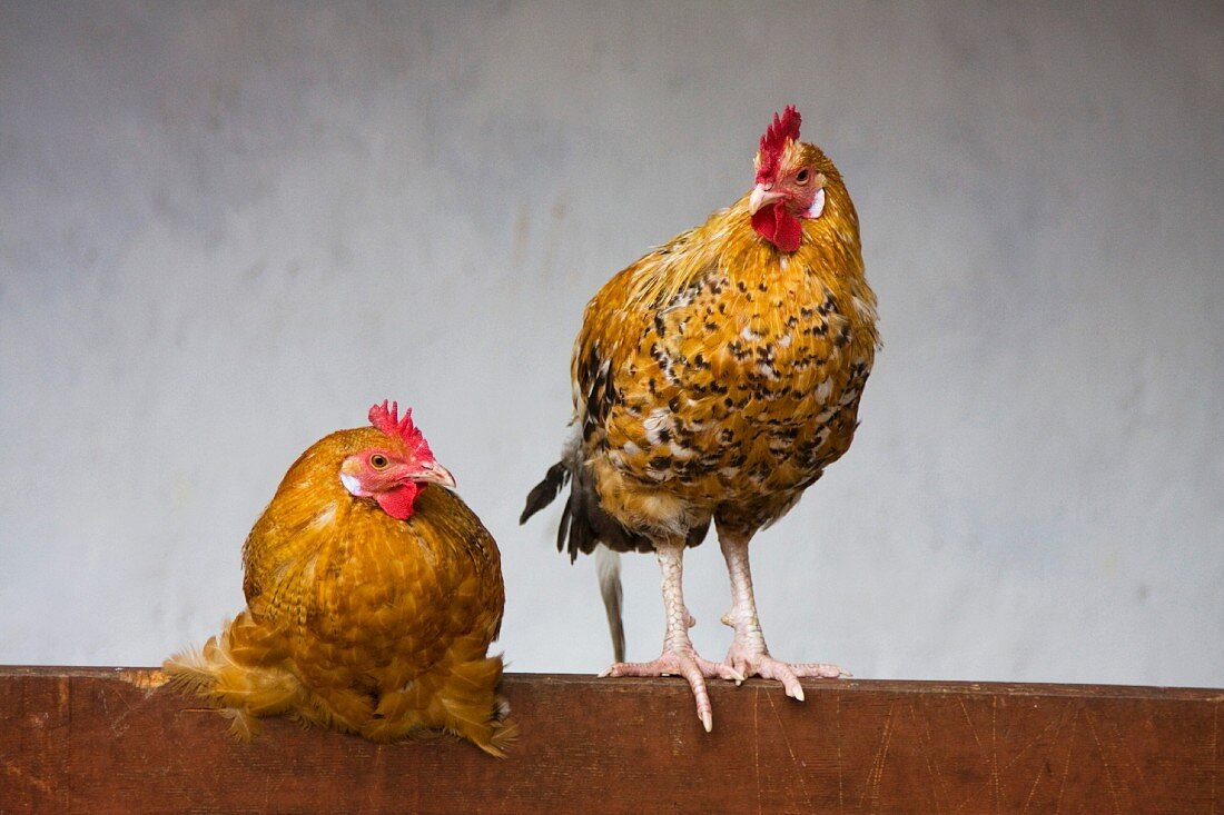 Two Roosters on Rail