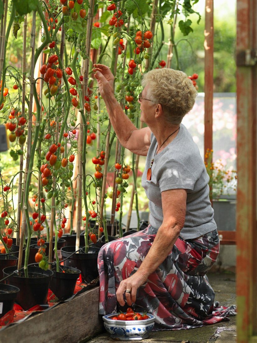 Elderley female collecting tomatoes in domestic greenhouse