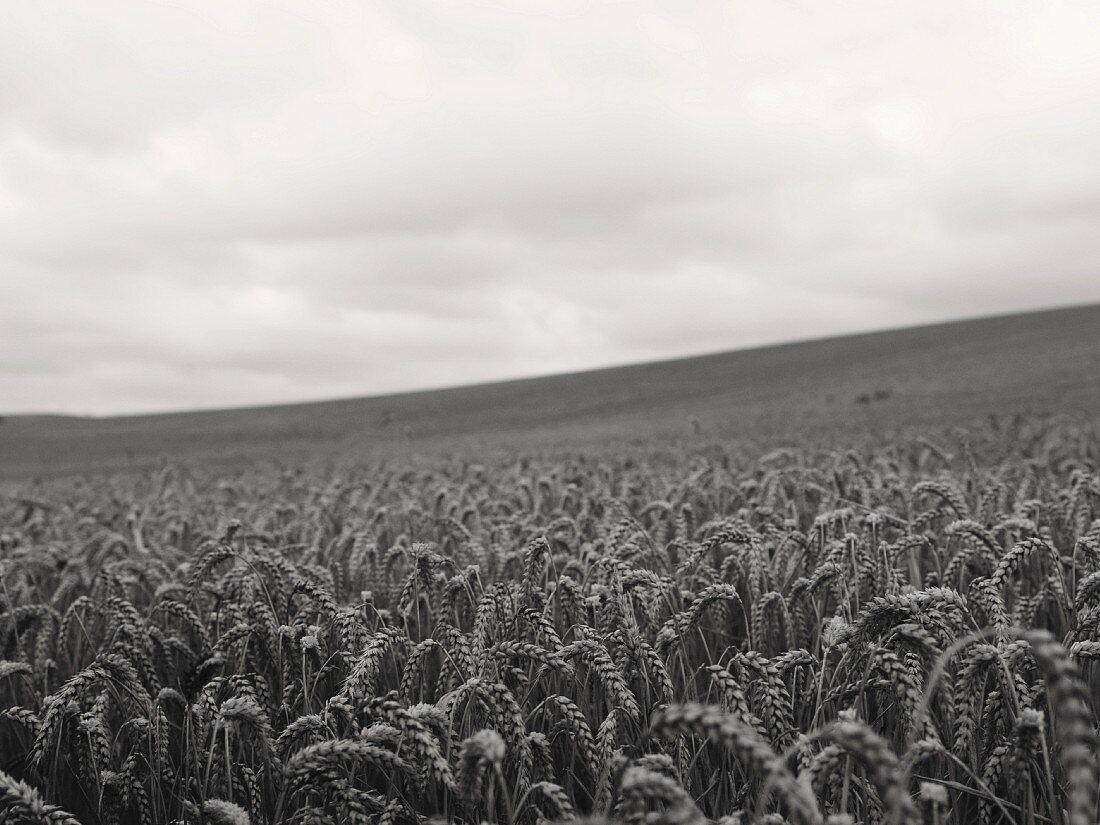 Großes Weizenfeld