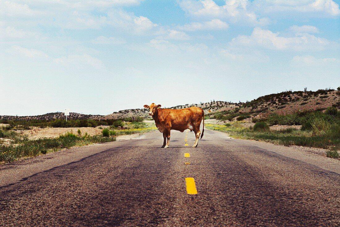 Cow on Rural Highway