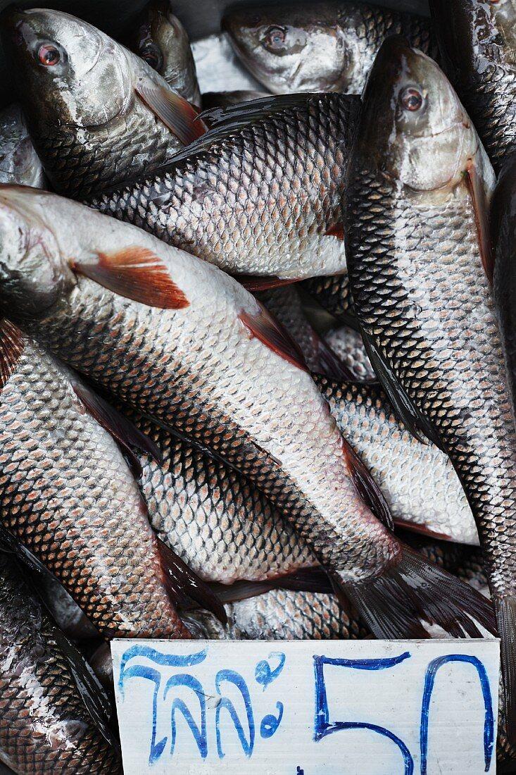 Thai freshwater fish