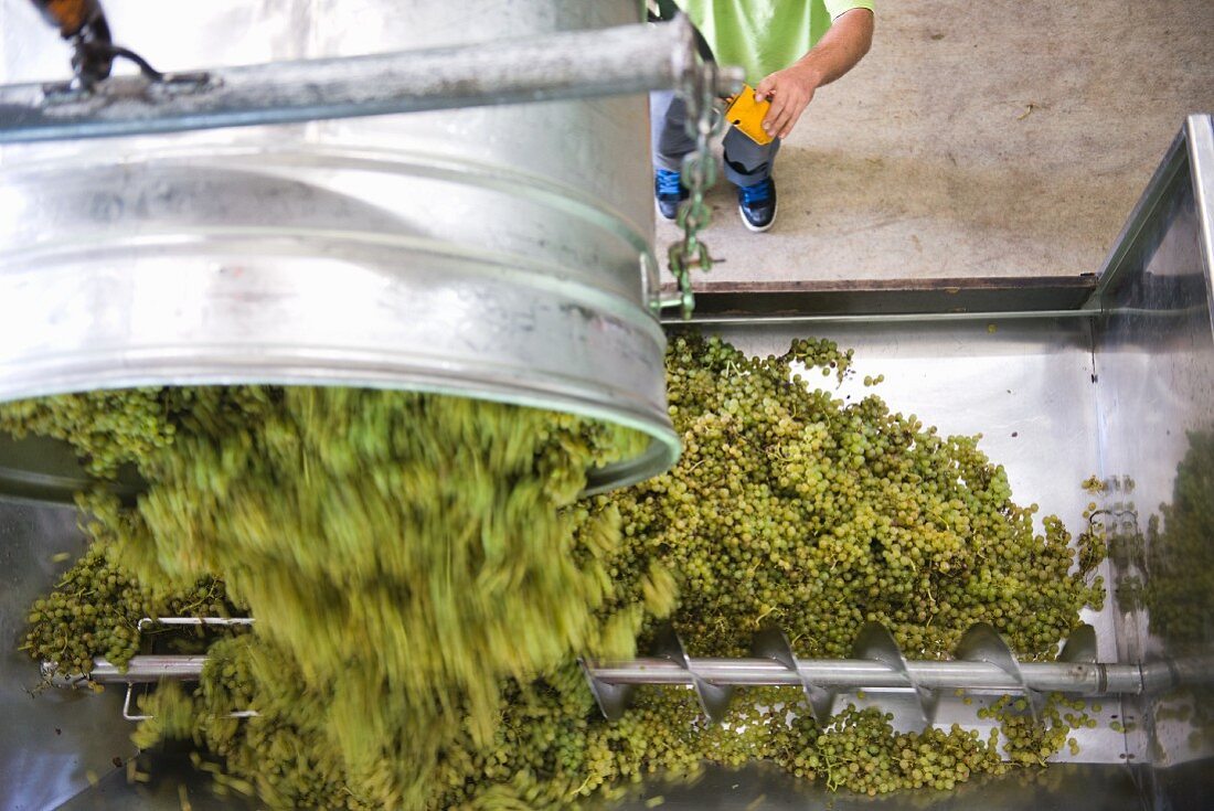 White grapes being tipped into a grape press