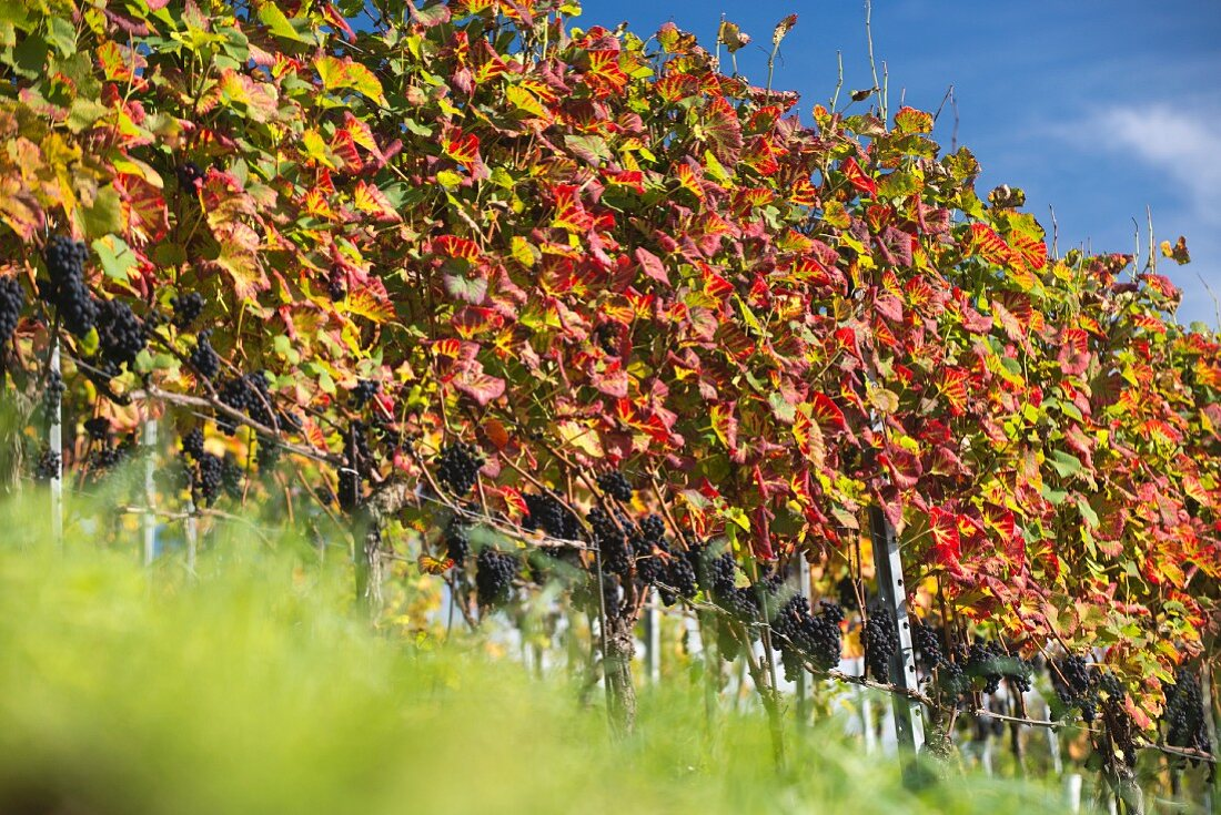 A colourful row of vines at Goldwand