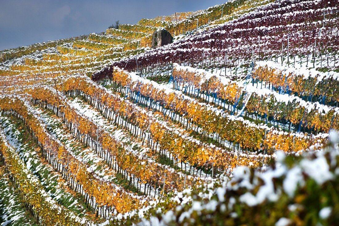 A snowy vineyard in Limmattal (Aargau) in autumnal colours