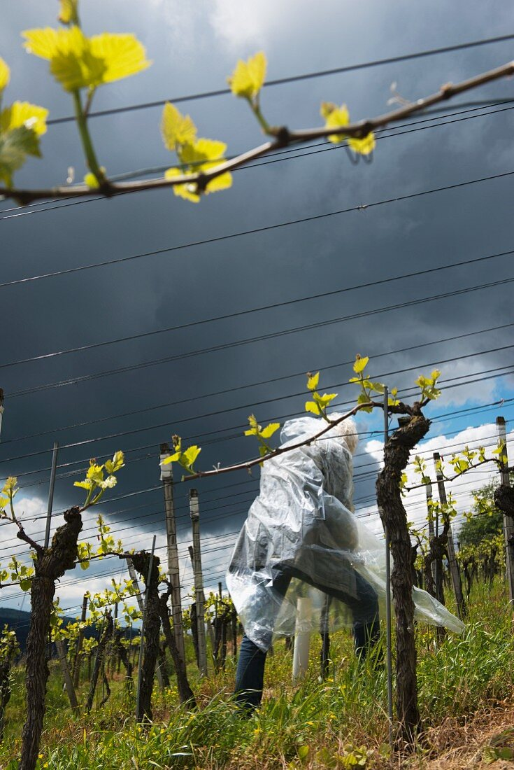 A man working in a vineyard in May selecting young shoots and breaking off superfluous one, Aargau