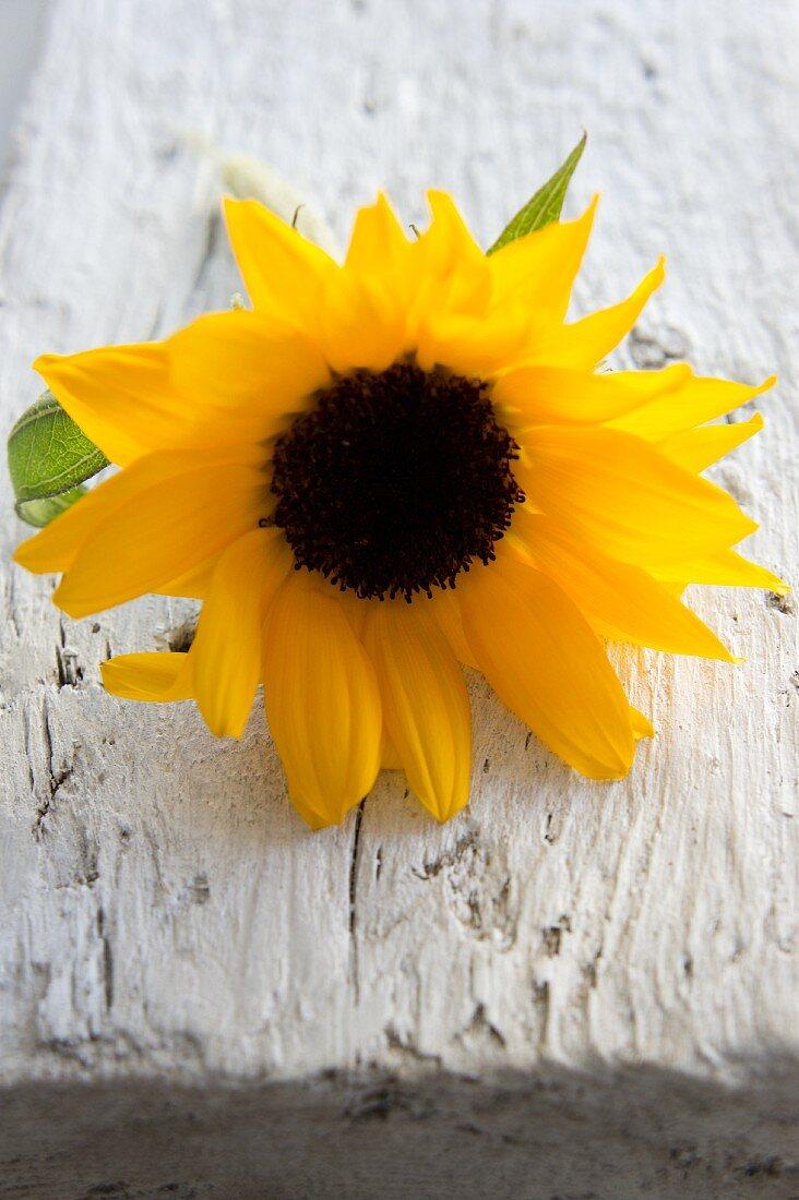 Sonnenblume auf Holzbrett
