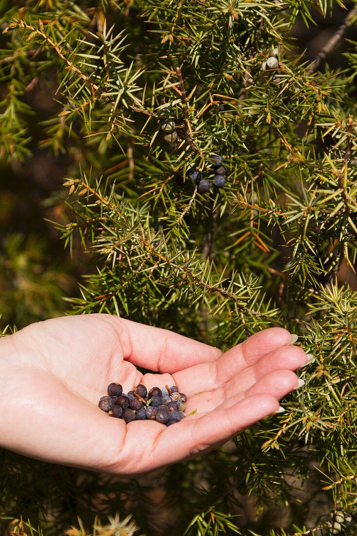 Juniper berries and juniper berry bush
