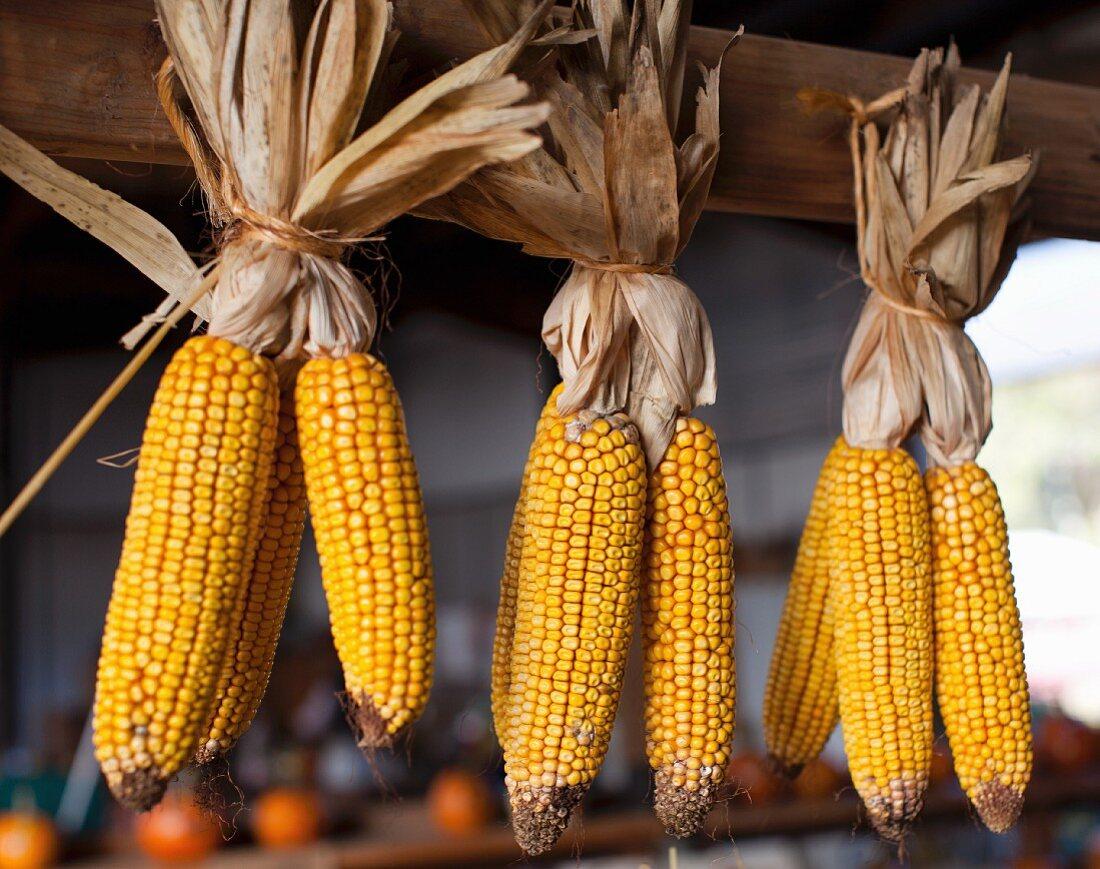 Corn cobs hung to dry