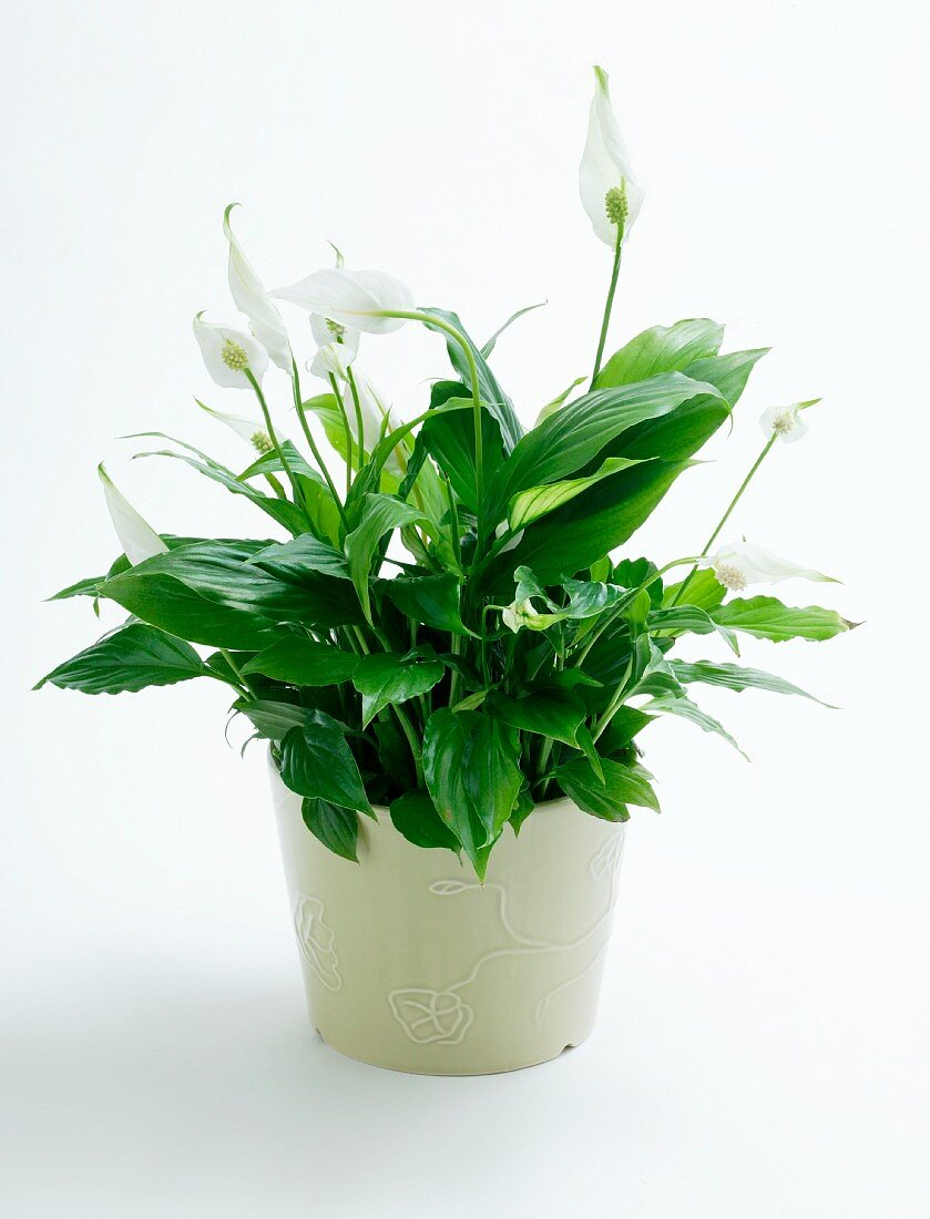 Peace lilies (Spathiphyllum) in a flower pot