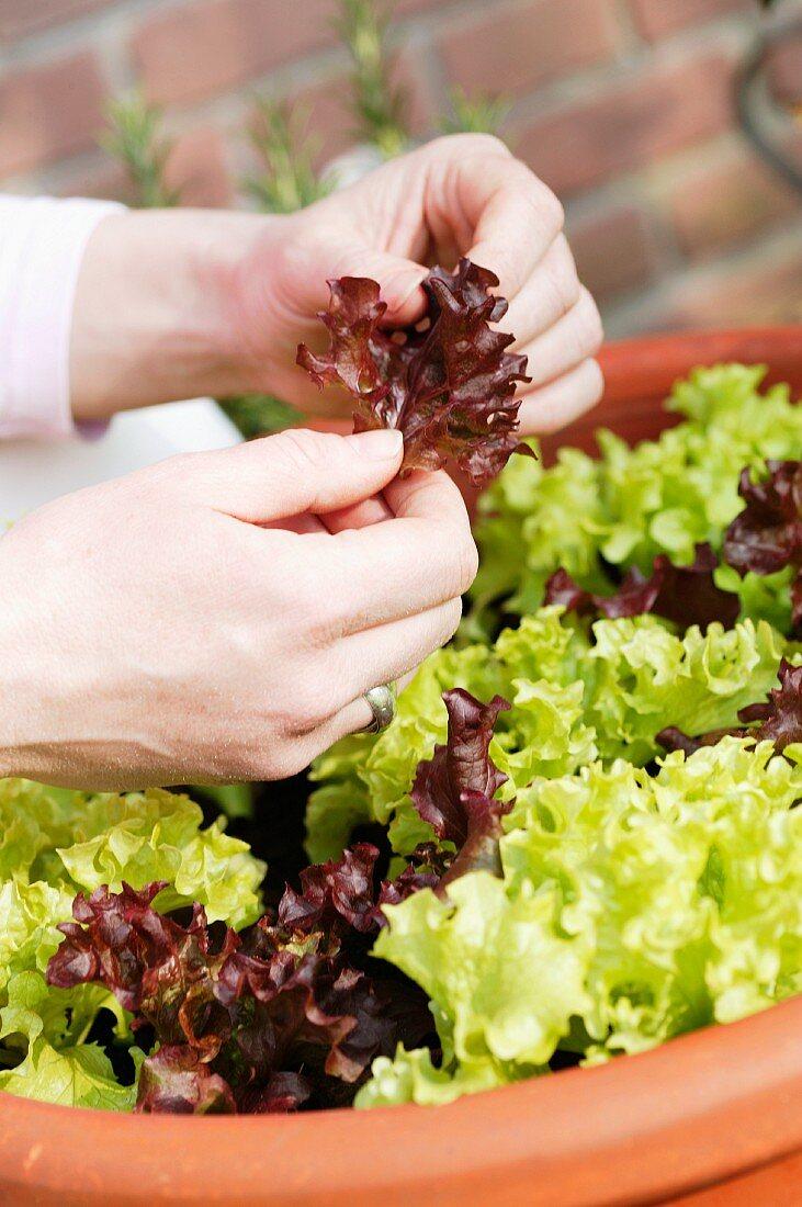 Young lettuce plants in terracotta pot