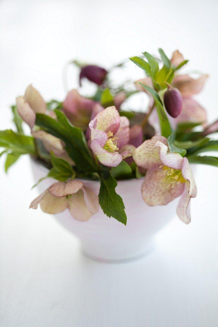 Bowl of pink hellebores