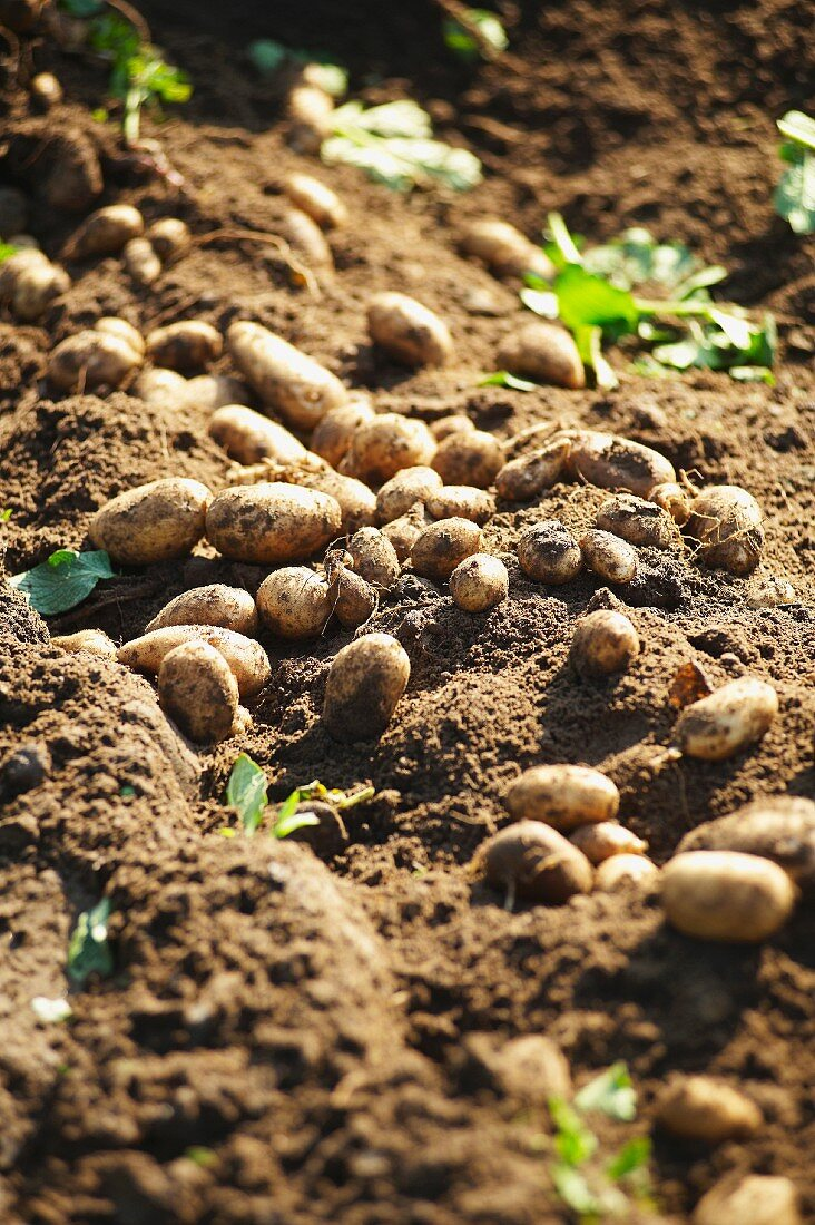 Freshly harvested Jersey Royal potatoes in a garden