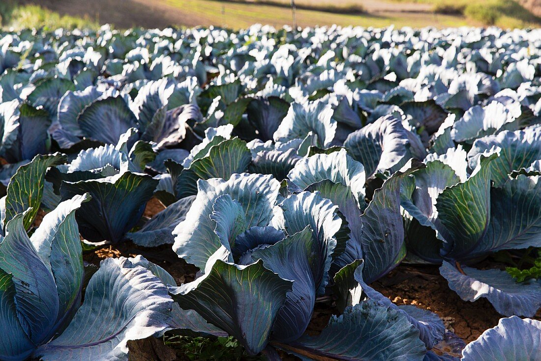 Red cabbages in a field