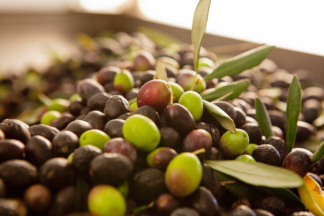 Freshly harvested green and black olives for making olive oil