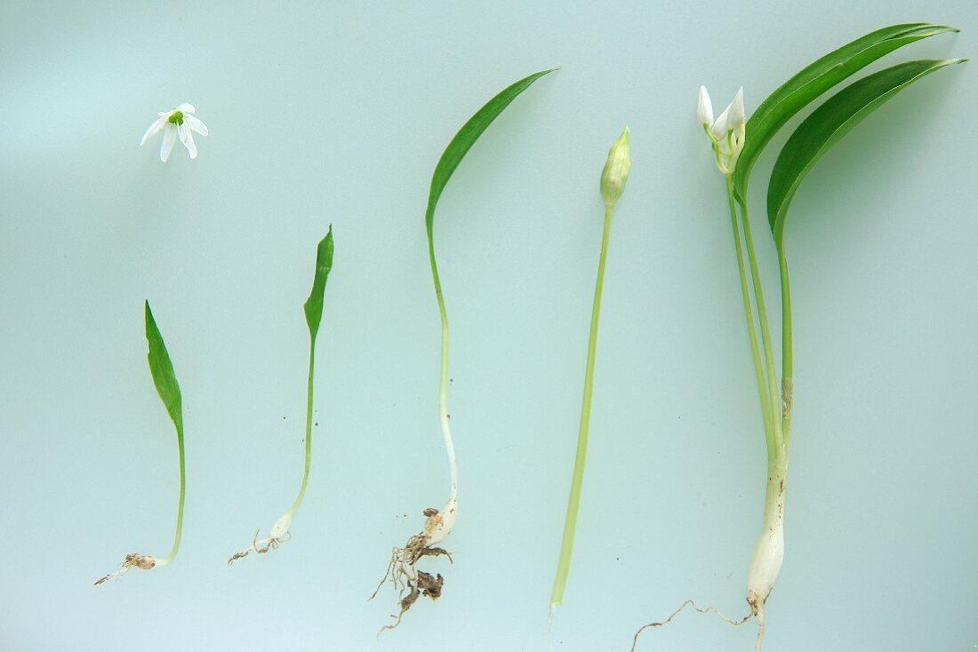 Bärlauchpflanzen mit Blüten