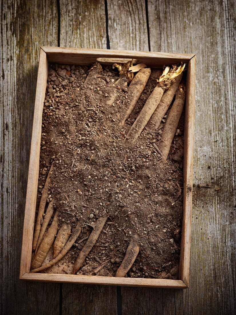 Chef's tip: black salsify stored in a box of sand