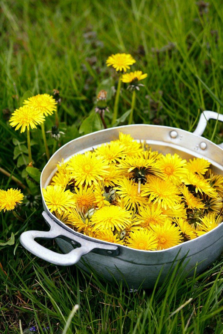 A bowl of freshly picked dandelion flowers in a field