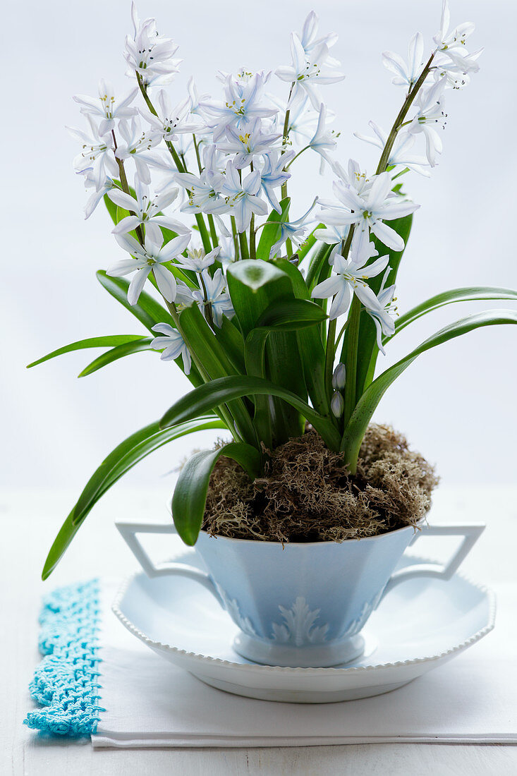 Scilla in a porcelain cup