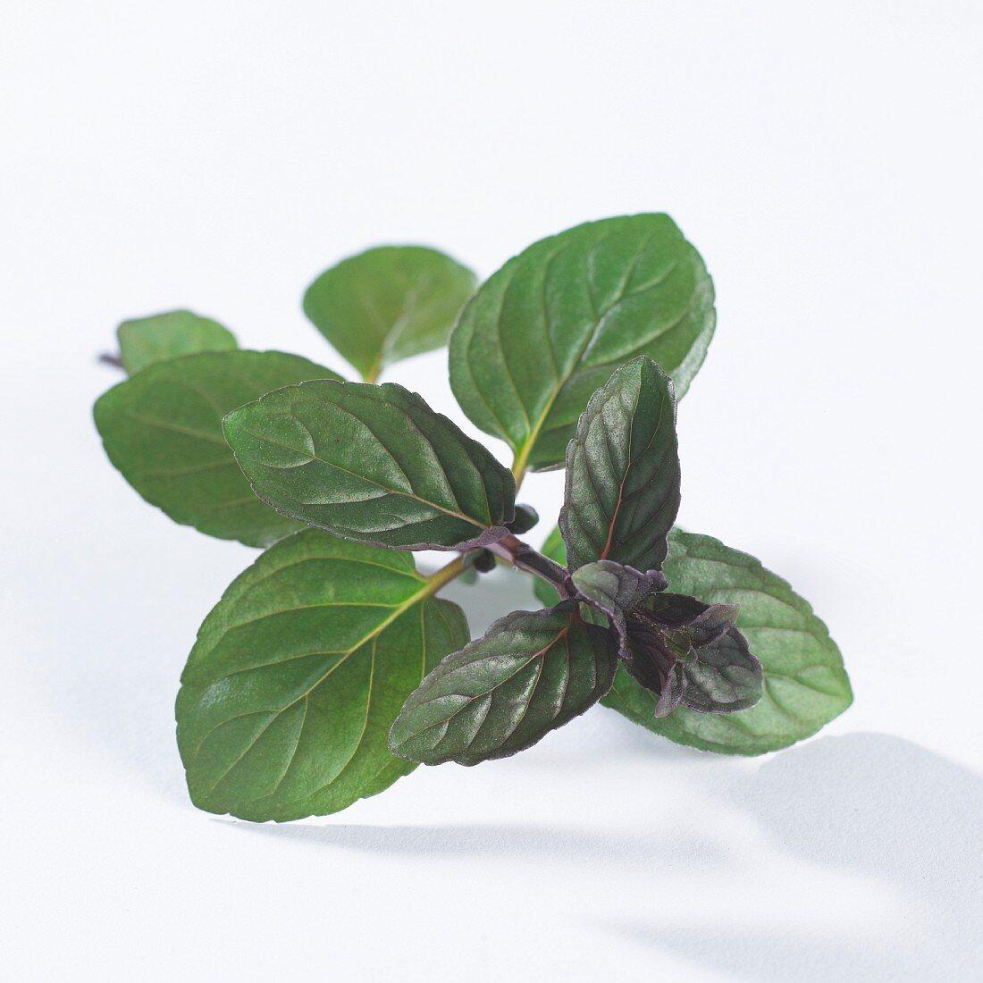 A sprig of chocolate mint (Mentha X Piperiata Chocolate)