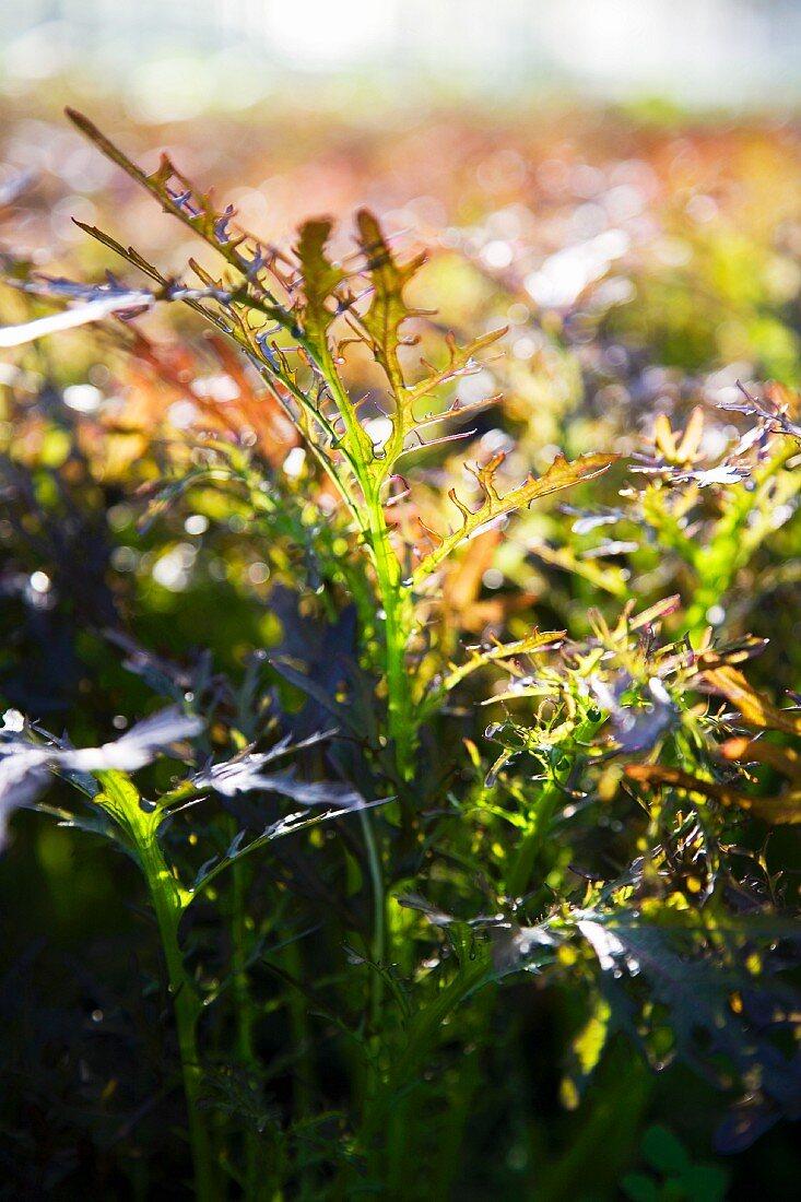Agano-Salat (Blattsalat, Asien) auf dem Feld