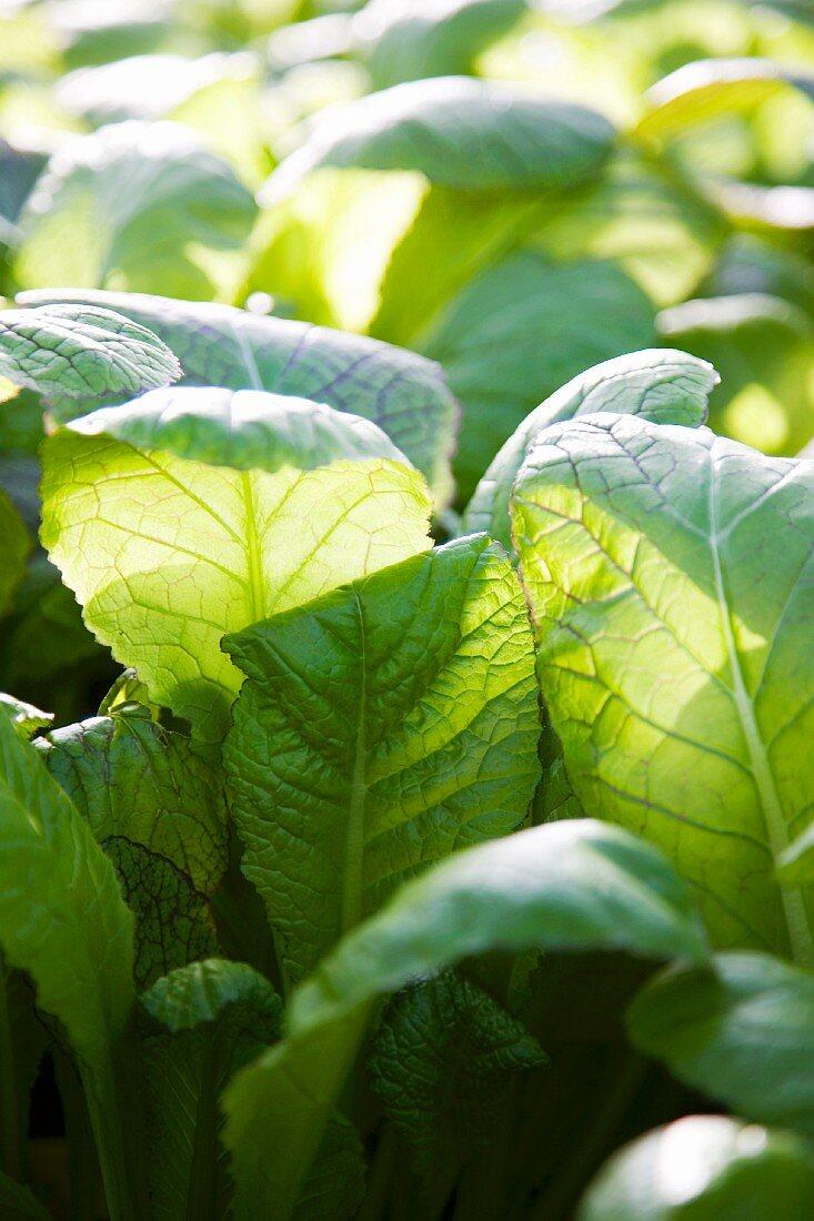 Lettuce in a field