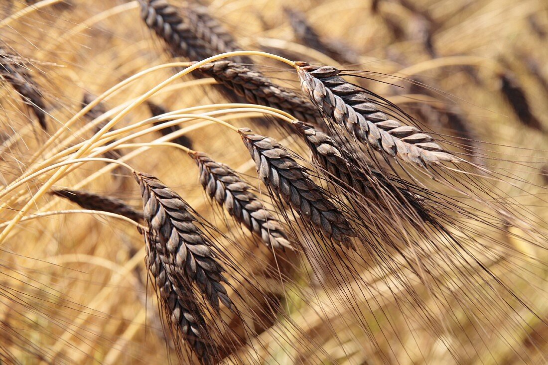 Dark emmer wheat (ears, close-up)